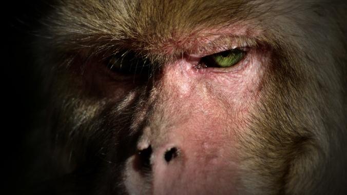monkey staring